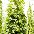 Hops garden, Czech Republci — Stock Photo #11424903