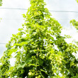 Hops garden, Czech Republci — Stock Photo #11424907