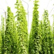 Hops garden, Czech Republci — Stock Photo #11424908