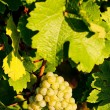 Stock Photo: Grapevine in vineyard, Alsace, France