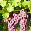 Grapevine in vineyard (gewurztraminer), Alsace, France — Stock Photo #11425819