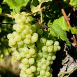 Grapevine in vineyard, Alsace, France — Stock Photo