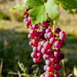 Grapevine in vineyard (gewurztraminer), Alsace, France — Stock Photo