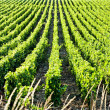 Vineyard, Burgundy, France — Stock Photo