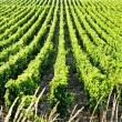 Stock Photo: Vineyard, Burgundy, France