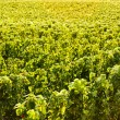 Vineyard, Burgundy, France — Stock Photo #11425965