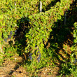 Vineyard, Burgundy, France — Stock Photo #11425977
