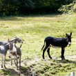 Stock Photo: Donkeys, France