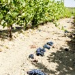 Stock Photo: Vineyard with blue grapes, La Rioja, Spain
