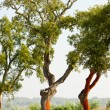 Stock Photo: Cork oaks, Alentejo, Portugal