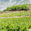 Vineyars in Languedoc-Roussillon, France - Stock Photo