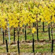 Vineyard in autumn, Czech Republic — Stock Photo