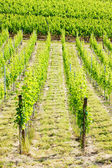 Vineyard, Alsace, France — Foto Stock