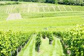 Wijngaarden rond het dorp van hunawihr, Elzas, Frankrijk — Stockfoto