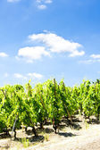 Grand cru vineyards, Cote Rotie, Rhone-Alpes, France — Stock Photo