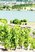 Vineyard of Cote Condrieu, Rhone-Alpes, France — Stock Photo