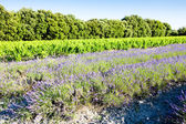 Lavender field with vineyard, Drome Department, Rhone-Alpes, Fra — Stock Photo