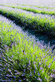 Lavender field, Drome Department, Rhone-Alpes, France — Stock Photo