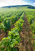 Vineyard, Burgundy, France — Stock Photo