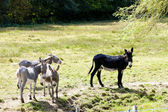 Donkeys, France — Stock Photo