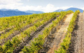 Vineyars near Saint-Paul-de-Fenouillet, Languedoc-Roussillon, Fr — Stock Photo