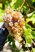 White grape, Languedoc-Roussillon, France — Stock Photo