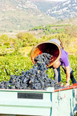 Wine harvest in Fitou appellation, Languedoc-Roussillon, France — Stock Photo