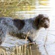Hunting dog in pond — Stock Photo