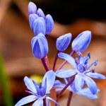 Nice wild hyacinth flower — Stock Photo #11349395
