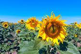 Nice sunflowers — Stock Photo