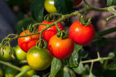 Tomato on vegetable garden — Stock Photo