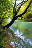 Tree over river in forest — Stock Photo