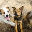 Stock Photo: Stray dogs