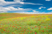 Meadow with poppies — Stock Photo