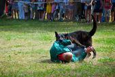 Shepherd attacks man — Stock Photo