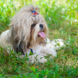 Royalty-Free Stock Photo: Shih Tzu