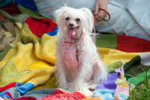 Chinese crested dog — Stockfoto