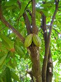 Cacao fruit — Stock Photo