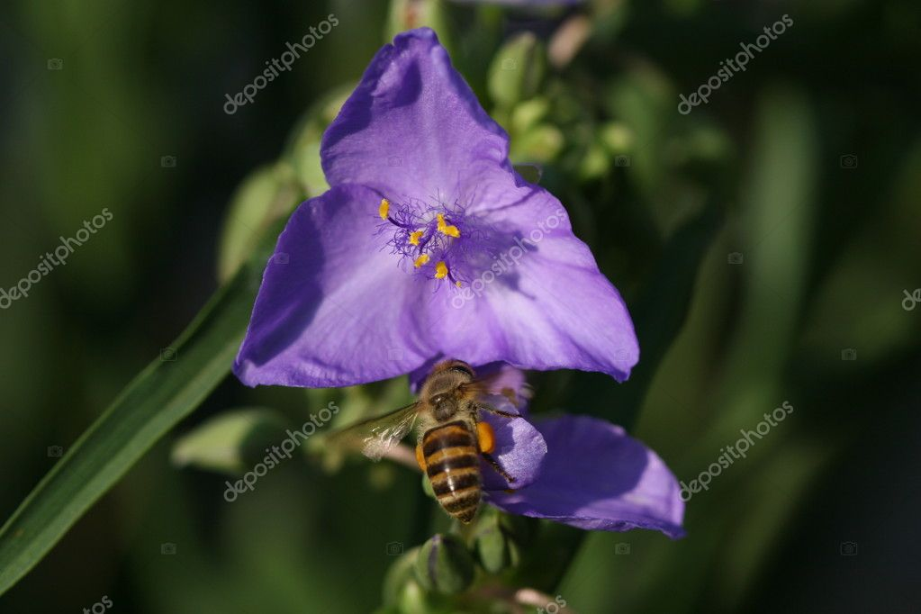 Flying bee in blue flower — Stock Photo #10740058
