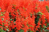 Scarlet sage flower — Stock Photo
