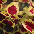 Coleus plant — Stock Photo #10917854