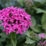 Pentas flower — Stock Photo