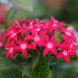Pentas flower — Stock Photo