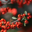 Stock Photo: Red berry
