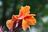 Canna lily flower — Stock Photo