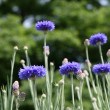 Cornflower — Stock Photo #11141346