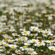 Daisy flower blooming — Stock Photo
