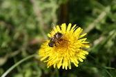 Bee on dandelion flower — Stock Photo
