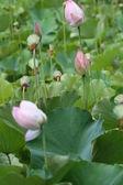 Lotus bud — Stock Photo