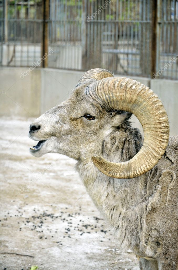 Argali in the zoo  Stock Photo #10773470